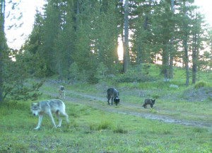 From left, the alpha female (white-gray in color), a sub-adult wolf, alpha male (black) and a 2011 pup (black) from the  Imnaha pack. Image captured on trail camera in Wallowa-Whitman National Forest, in Wallowa County on July 9, 2011. Photo courtesy of ODFW. More information. Download high resolution image.
