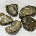 Study finds Oregon oysters contain potentially harmful chemicals
