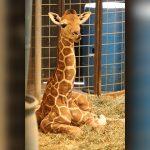 Baby giraffe born at Wildlife Safari