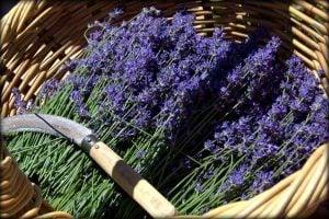 0624 Lavender