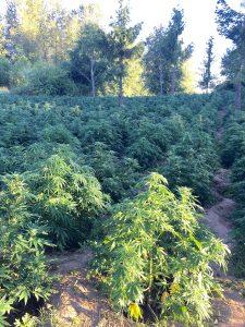 0629 Yamhill pot grow