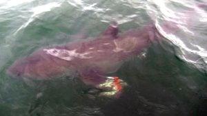 NC_shark_1500x845