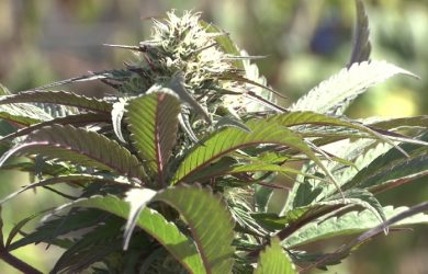 marijuana-hd