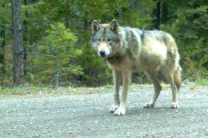 Remote camera photo of OR7 (Rogue Pack) captured on 5/3/2014 in eastern Jackson County on USFS land. Photo courtesy of USFWS.