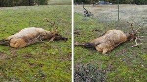 1129-union-county-elk