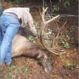Trapped elk rescued by ODFW biologists