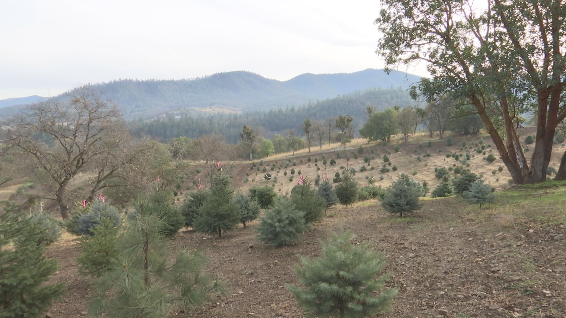 Local Tree Farm Managing During Nationwide Christmas Tree