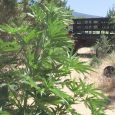 Merkley cosponsors bill to end federal marijuana prohibition