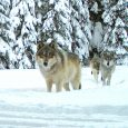 House votes to remove federal protections for gray wolves
