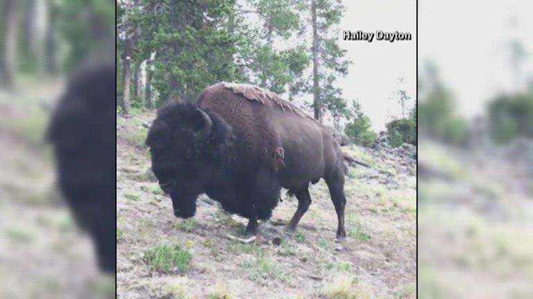 Girl Survives Bison Attack At Yellowstone Kobi Tv Nbc5